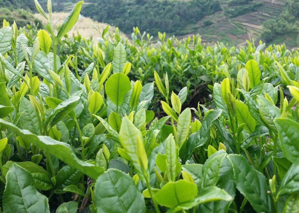 Новый зеленый чай 2016 Qing Cheng Tang (121-102) - 10