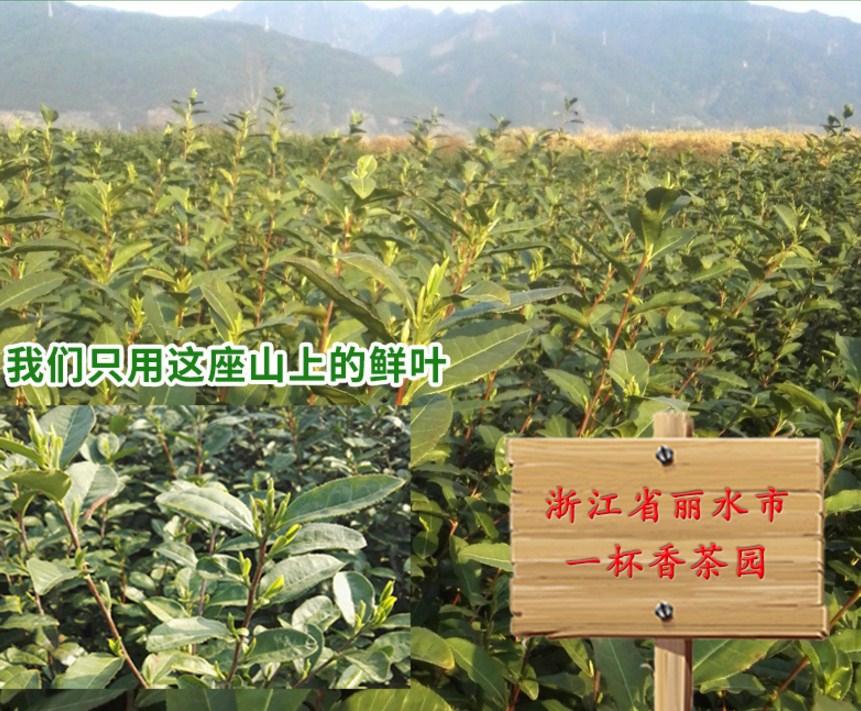 Зеленый чай 2016 года YIBEIXIANG TEA (121-103) - 6