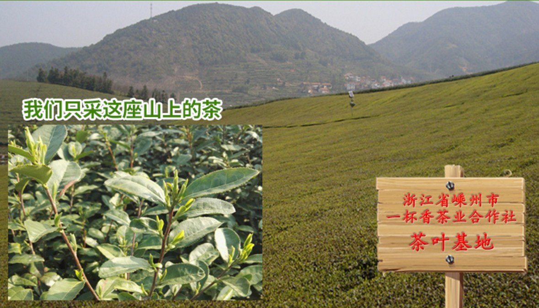 Зеленый чай 2016 года YIBEIXIANG-100g (121-105) - 6